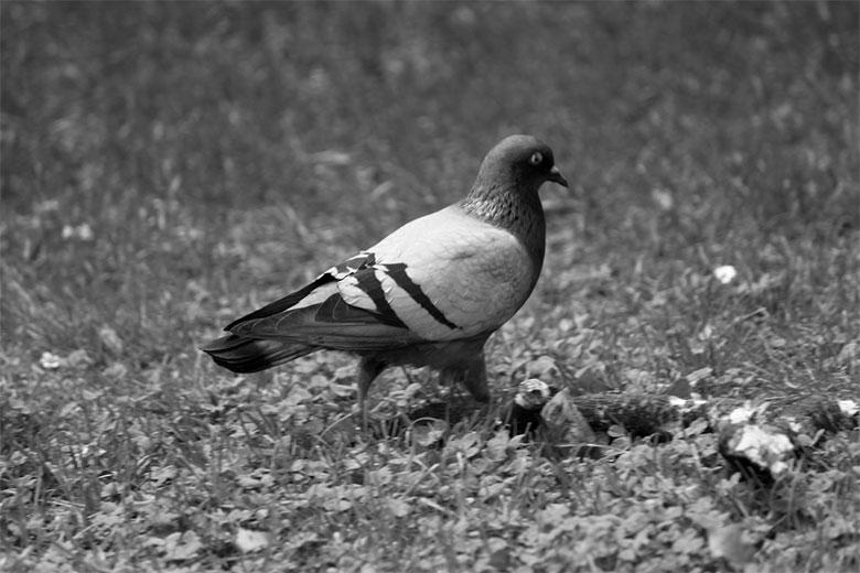 stolzierende-Taube